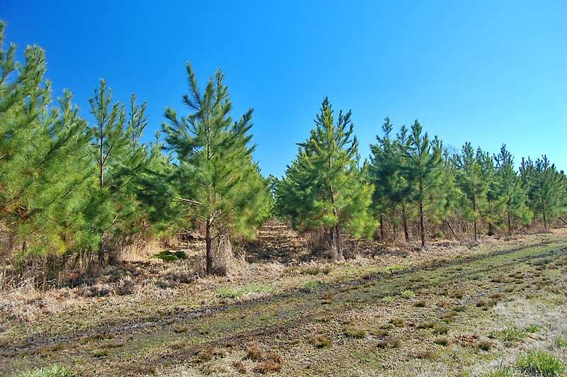 North Carolina Pine Straw Timber Land For Sale 198ac